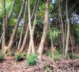 ブナ科樹木萎凋病